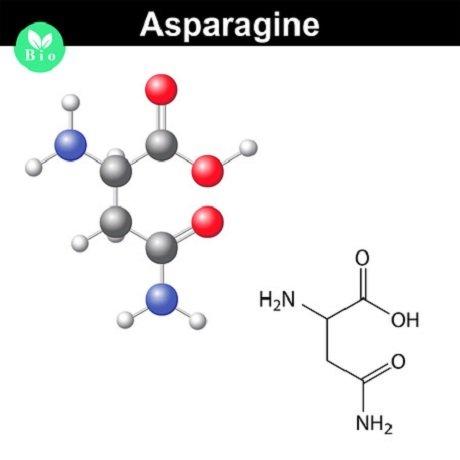 asparagin 123rf 62474292 anton lebedev
